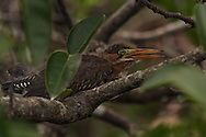 Juvenile Green Heron - Everglades National Park