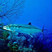 Cero inhabit open water, often swim over reefs, in Tropical West Atlantic; picture taken Little Cayman.