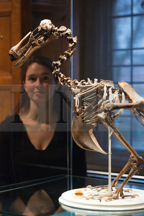 """© Licensed to London News Pictures. 30/01/2014. London, England. Picture: A museum worker poses with a Dodo skeleton, compositebones found in Mauritius c.1870, Museum of Zoology. The Exhibition """"Discoveries - Art, Science & Exploration"""" from the University of Cambridge Museums opens at Two Temple Place, Embankment, London on 31 January and runs until 27 April 2014. Photo credit: Bettina Strenske/LNP"""