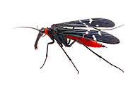 Mourning Scorpionfly (Panorpa lugubris) - female<br /> United States: North Carolina: Johnston Co.<br /> Central Crops Research Station off Bus. 70<br /> North Carolina State University; Clayton<br /> 15-Sep-2017<br /> J.C. Abbott #2988