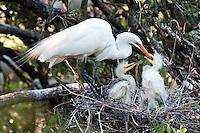 Great white egret feeding chicks in the nest in Florida.