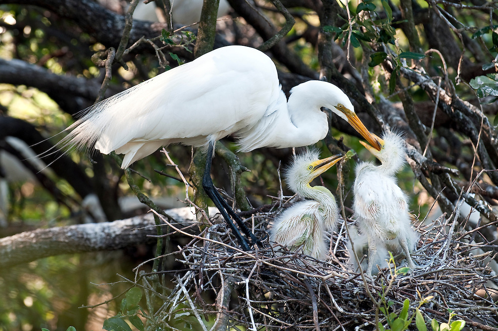 Great white egret feeding chicks in the nest in Florida.