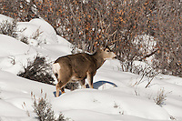 Mule deer buck foraging for food on a January morning in Northern Utah.