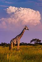 A giraffe walks along with a thunderhead cloud in background, near Lebala Camp in the Kwando Concession, Linyanti, Botswana.