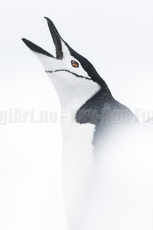 Chinstrap penguin (Pygoscelis antarcticus) in snow on white background | Ringpingvin i snø på hvit bakgrunn.