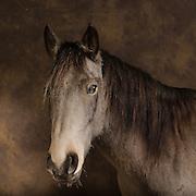 Kopstudie Quarterhorse Fine Art fotografie