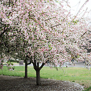 Not cherry blossoms. On West Basin Drive, near the FDR Memorial.