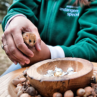 .SLOUGH, ENGLAND - OCTOBER 09: Dennis a captive-bred dormouse is surrounded with 20 solid silvercast hazel nuts and a gold plated one at Burnham Beeches on October 09, 2009 in Slough England.  The People's Trust for Endangered Species (PTES) , together with Natural England, launches the third Great Nut Hunt, a public survey to help save the endangered hazel dormice (Muscardinus avellanarius). The silver and gold nuts are hidden in woodlands to encourage would-be nutters to take part in a survey to find as many gnawed nuts as possible to find the distribution and numbers of this rare mammal. ..***Agreed Fee's Apply To All Image Use***.Marco Secchi /Xianpix. tel +44 (0) 771 7298571. e-mail ms@msecchi.com .www.marcosecchi.com