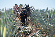 A jimador loads blue agave pineapple-like cores into a basket carried by a donkey during harvest in a field owned by the Siete Leguas tequila distillery in the Jalisco Highlands of Mexico. Siete Leguas is a family owned distillery crafting the finest tequila using the traditional process unchanged since for 65-years.