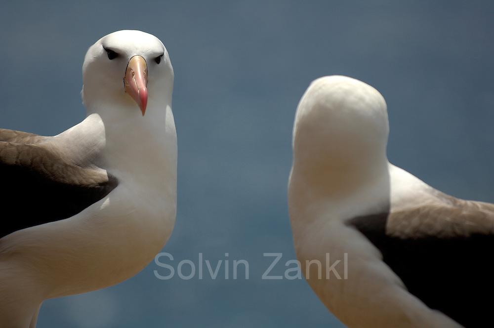 Black browed albatross  (Diomedea melanophris) [size of single organism: 80 cm]   Schwarzbrauenalbatros (Diomedea melanophris)
