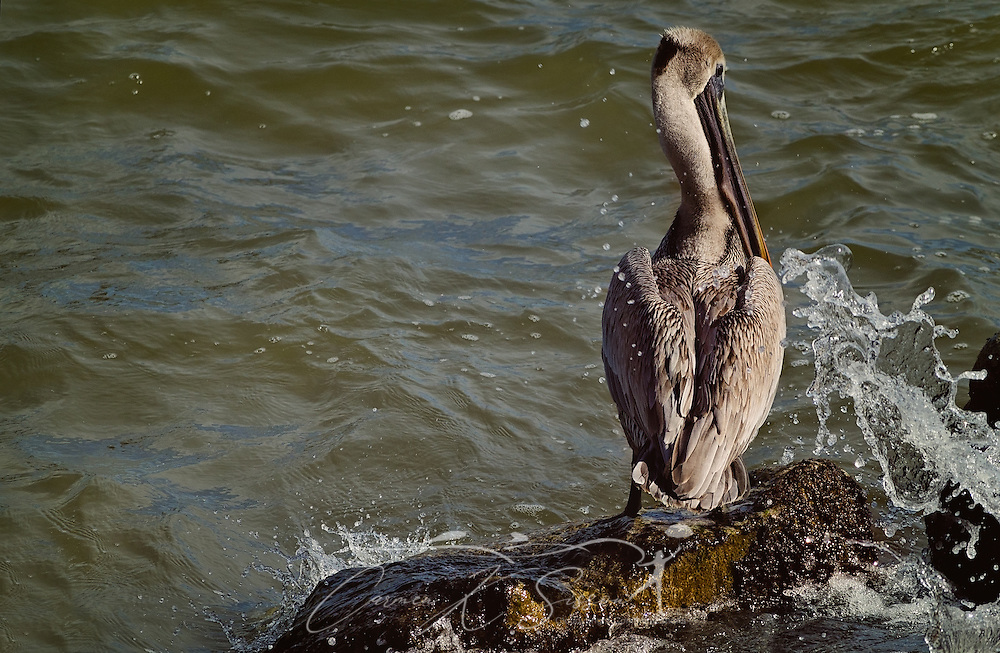 A brown pelican searches for fish in the surf, January 26, 2017, in Dauphin Island, Alabama. (Photo by Carmen K. Sisson/Cloudybright)