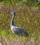 Male Sandhill Crane standing in a Michigan barley field getting ready to migrate south for the winter.