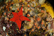 Badge starfish (Diplodontias singularis) Comau Fjord, Patagonia, Chile |  Seestern (Diplodontias singularis)