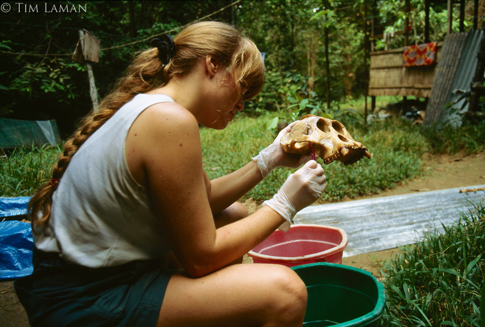Anthropologist Cheryl Knott cleans the skull of an orangutan for study. This ape, known as Rocky, died from the wounds received during a fight with a rival male.
