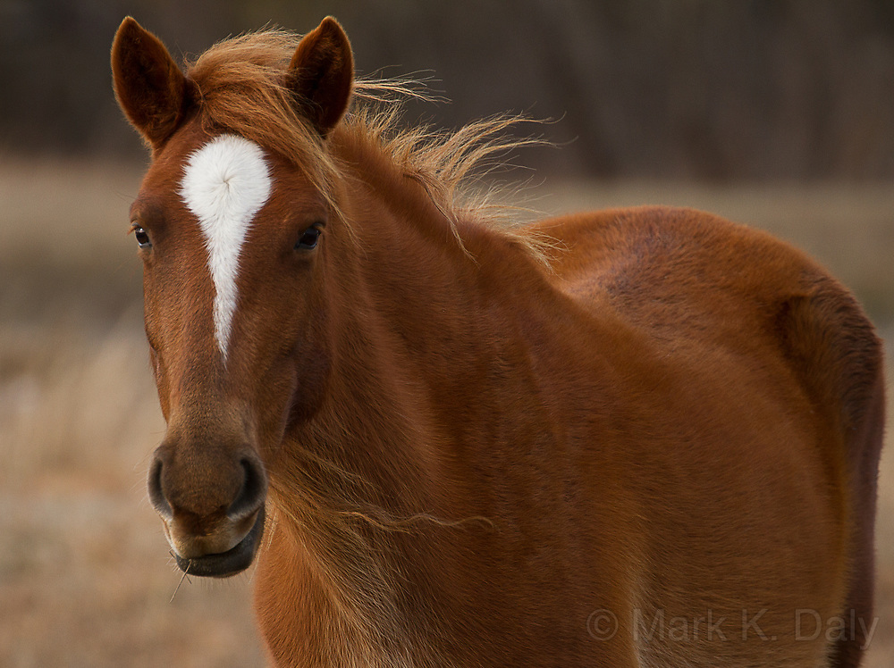 Wild Colonial Spanish Mustang, Outer Banks, NC