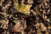 Looking down on decomposing leaves of leaf litter layer forming top soil, UK