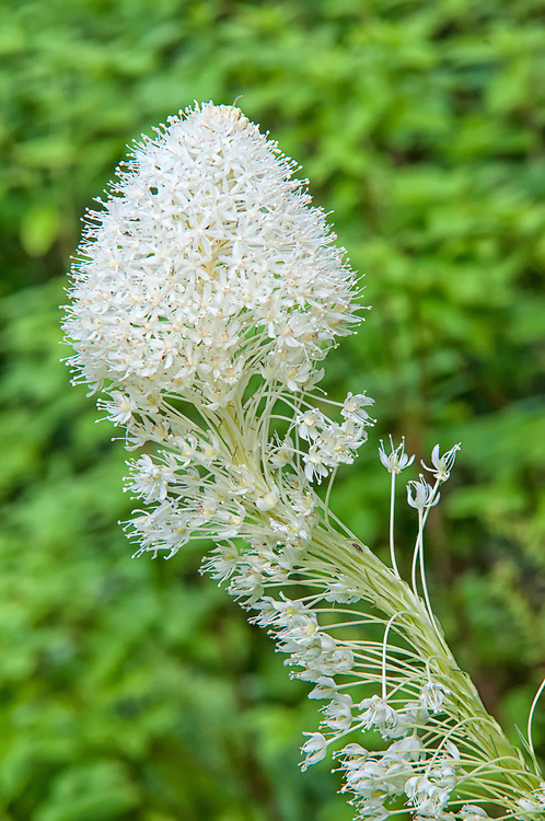 Found throughout much throughout the higher elevations of the Cascades and Rocky Mountain ranges, the common beargrass is a summer-blooming member of the lily family, particularly common in the sub-alpine elevations.