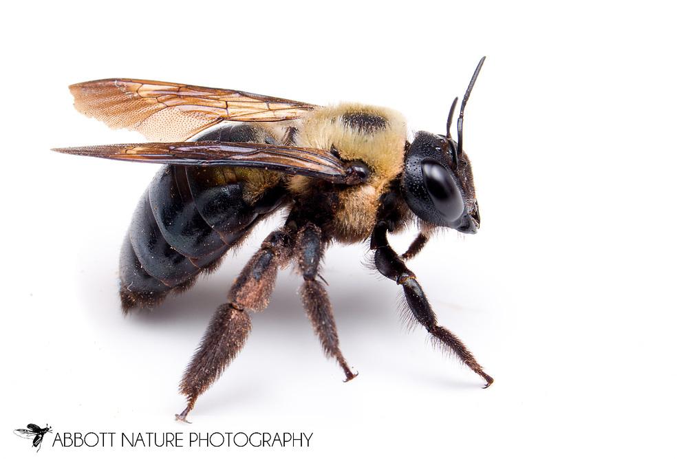 Eastern Carpenter Bee (Xylocopa virginica) <br /> TEXAS: Lamar Co.<br /> Camp Maxey National Guard<br /> Powderly  4.VIII.2014<br /> N33.78015 W95.53824 351 ft<br /> J.C. Abbott #2676 &amp; K.K. Abbott
