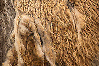 The fur of European bison, when the thick winter coat is coming off and the thinner summer coat is emerging underneath. Captive. Transportation of European Bison, or Wisent, from the Avesta Visentpark, in Avesta, Sweden. The animals were then transported to the Armenis area in the Southern Carpathians, Romania. All arranged by Rewilding Europe and WWF Romania, with financial support from The Dutch Postcode Lottery, the  Swedish Postcode Foundation and the Liberty Wildlife Fund.