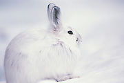 "Alaska. Snowshoe Hare (Lepus americanus) in Yanert Valley. Snowshoe hares are somewhat larger than cottontail rabbits (Sylvilagus spp.). They average around 18 to 20 inches (.5 m) in total length and weigh 3 to 4 pounds (1.4-1.8 kg). In summer the coat is yellowish to grayish brown with white underparts, and the tail is brown on top. This coat is shed and replaced by white pelage in winter, but the hairs are dusky at the base and the underfur is gray. The ears are dark at the tips. The large hind feet are well-furred, adapting these animals for the deep snows of the boreal forests—hence the name ""snowshoe."""