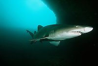 Aliwal Shoal Indian Ocean South Africa sand tiger shark (Carcharias taurus) in underwater cave