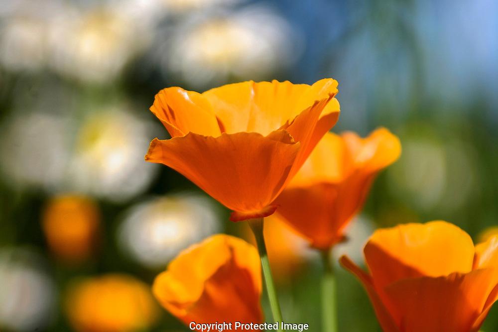 Soft evening light creates a painterly canvas of vivid orange California poppies