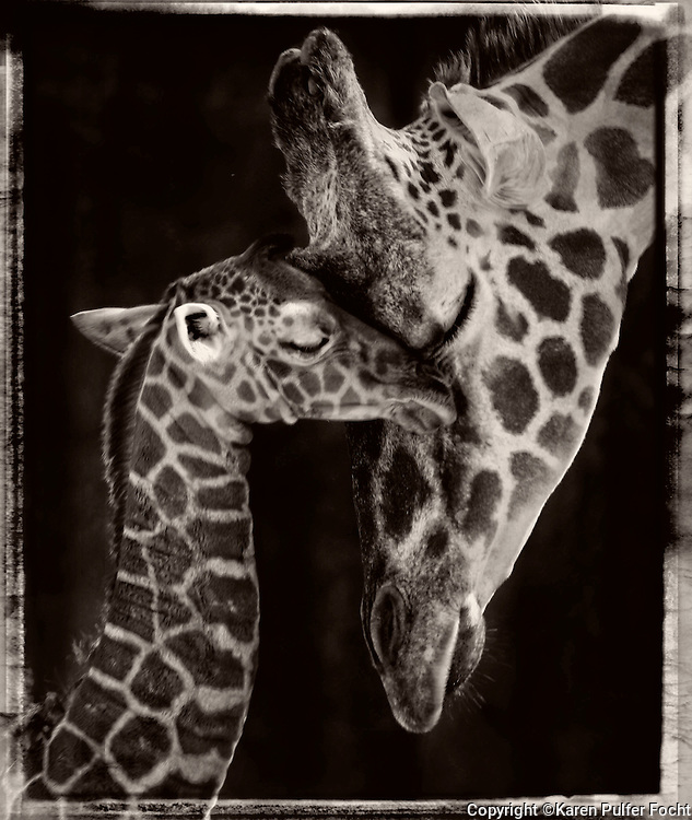 A mother and new born baby giraffe nuzzle at The Memphis Zoo.