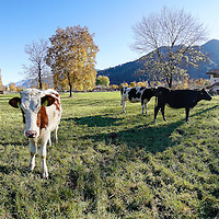Le mucche pascolano nei prati pianeggianti di Pieve di Ledro