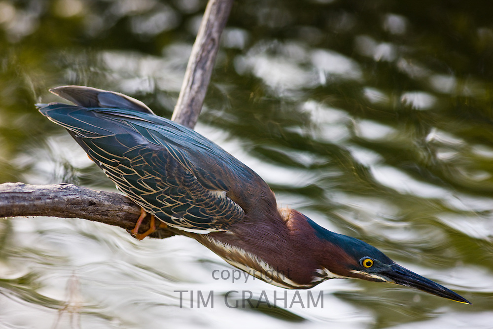 Green Backed Heron, Butorides Striatus,  waiting to pounce for fish, Everglades, Florida, United States of America