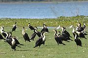 Kenya, lake naivasha, White breasted Cormorants (Phalacrocorax lucidus)