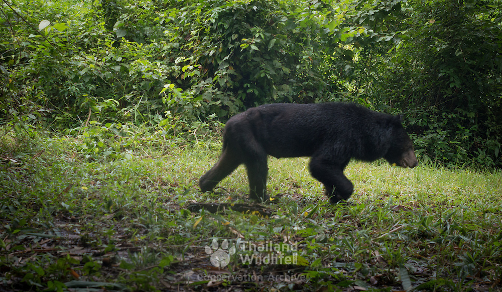 The Asian black bear (Ursus thibetanus), previously known as Selenarctos thibetanus) is also known as moon bear and white-chested bear.