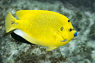 Threespot angelfish (Pomacanthus trimaculatus)