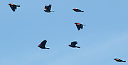 Wawayanda, New York - A group of red-winged blackbirds fly across the sky on March 19, 2015.