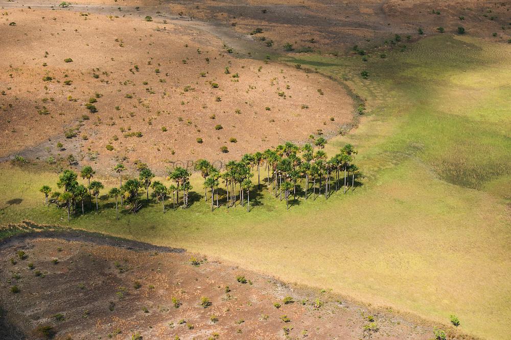 Mauritia (Moriche) Palm (Mauritia flexuosa)<br /> Savanna <br /> Rupununi<br /> GUYANA<br /> South America<br /> Used for thatching