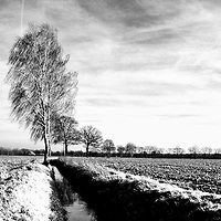 A series of birch trees along a moat in turbulent wind.