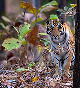 Female bengal tiger (Panthera tigris tigris) in the dense forest of Pench National Park, madhya Pradesh, India.