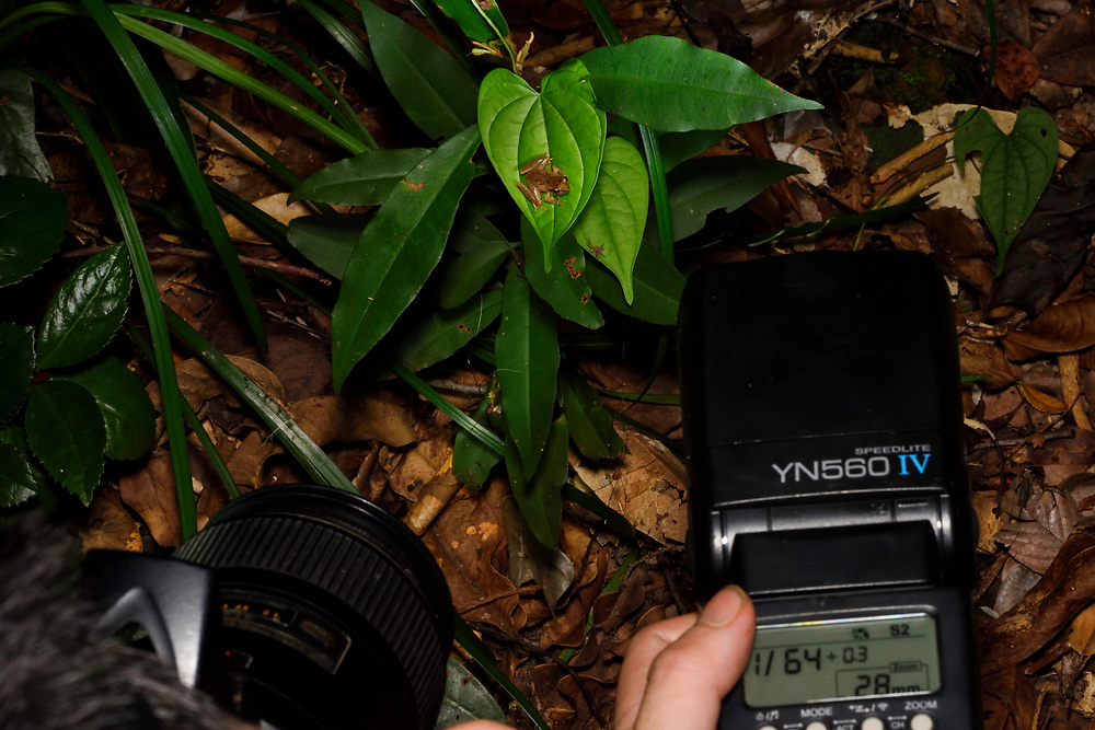 Herper photographing a Romer's tree frog, Liuixalus romeri, endemic to Hong Kong. With an average snout-vent length of 1.5&ndash;2.5 cm, it is the smallest amphibian recorded in the territory. Despite its common name, it belongs to the Rhacophoridae family, instead of the Hylidae. Pat Sin Leng Country Park (Chinese: 八仙嶺郊野公園), country park in Hong Kong located in the New Territories, China.<br /> This Image is a part of the mission Wild Sea Hong Kong (Wild Wonders of China).