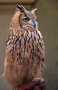 A293H3 European eagle owl whole body side view of face and body