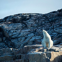Canada, Nunavut Territory, Repulse Bay, Polar Bear (Ursus maritimus) sitting in morning sunshine along shoreline on Harbour Islands along Hudson Bay