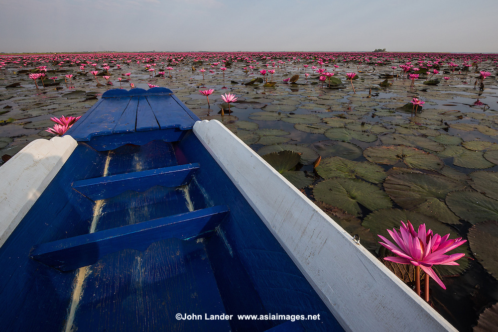 "Red Lotus Lake Kumphawapi near Udon Thani is a special lake officially called Nong Han Kumphawapi though Thai locals call it Talay Bua Daeng meaning:  ""Sea of Red Lotuses"".  From November through March, the lake sprouts millions of pink lotus blossoms. The perfect time to see them is in the early morning when the flowers open up. Though the lake may appear to be vast, and is often called  the ""red lotus sea"" this freshwater lake is very shallow, with an average depth of only one meter.  Local villagers trace the origins of the lake to a tragic love myth, adding to the local color.  Visitors appreciate the vibrant, lotus blossoms which are really more pink than red, never mind the name.  Many Asians including Thais eat lotus blossoms."