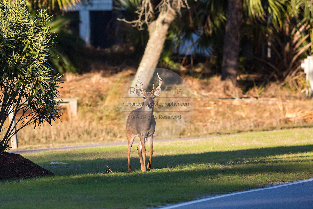 Deer roaming freely along a busy road on Fripp Island, SC.