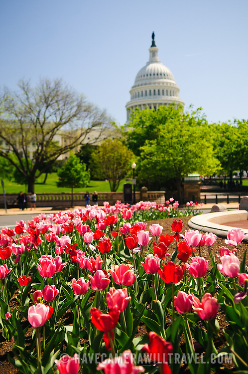US Capitol Building with spring tulips and clear blue sky. Shallow depth of field with focus on the tulips in the foreground.
