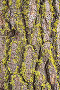 Detail of pondersosa bark (Pinus ponderosa) with yellow lichen (Letharia vulpina), commonly known as the wolf lichen in the Deschutes National Forest, Oregon.