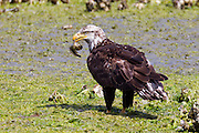 A young bald eagle (Haliaeetus leucocephalus) feeds on a midshipman fish that it caught in the Hood Canal near Seabeck, Washington. Hundreds of bald eagles congregate in the area early each summer to feast on the migrating fish that gets trapped in oyster beds during low tides. This eagle is likely 4 years old. Bald eagles don't get their pure white heads and tails until they are 5.