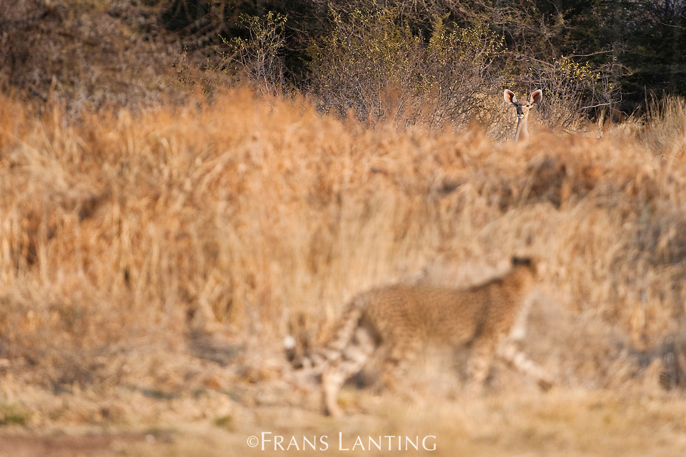 Cheetah watching kudu, Acinonyx jubatus, Cheetah Conservation Fund, Namibia