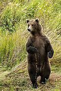 A sub-adult Brown Bear stands up for a better view in the grasses along the lower Brooks River lagoon in Katmai National Park and Preserve September 16, 2019 near King Salmon, Alaska. The park spans the worlds largest salmon run with nearly 62 million salmon migrating through the streams which feeds some of the largest bears in the world.