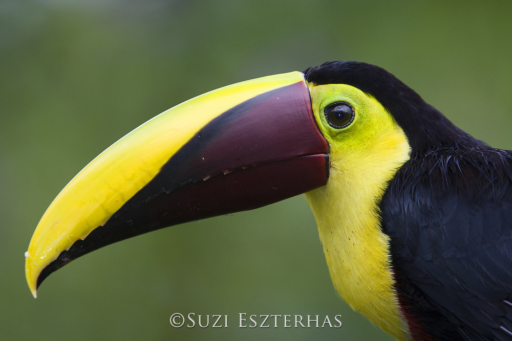 Chestnut -mandibled Toucan<br /> Ramphastos swainsonii<br /> Northern Costa Rica, Central America