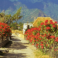 Americas, Central American, Guatemala, Lake Atitlan. Poinsettias grow and bloom at farms surrounding Lago Atitlan.