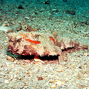 Polka-dot Batfish inhabit sand, mud, rubble and rocky bottoms near reefs in Florida, Bahamas and Gulf of Mexico; picture taken Blue Heron Bridge, Palm Beach, Florida.