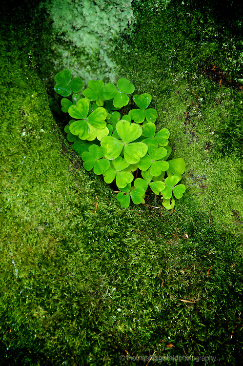Shamrocks growing in the nook of a tree